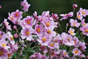 Anemone-flowers