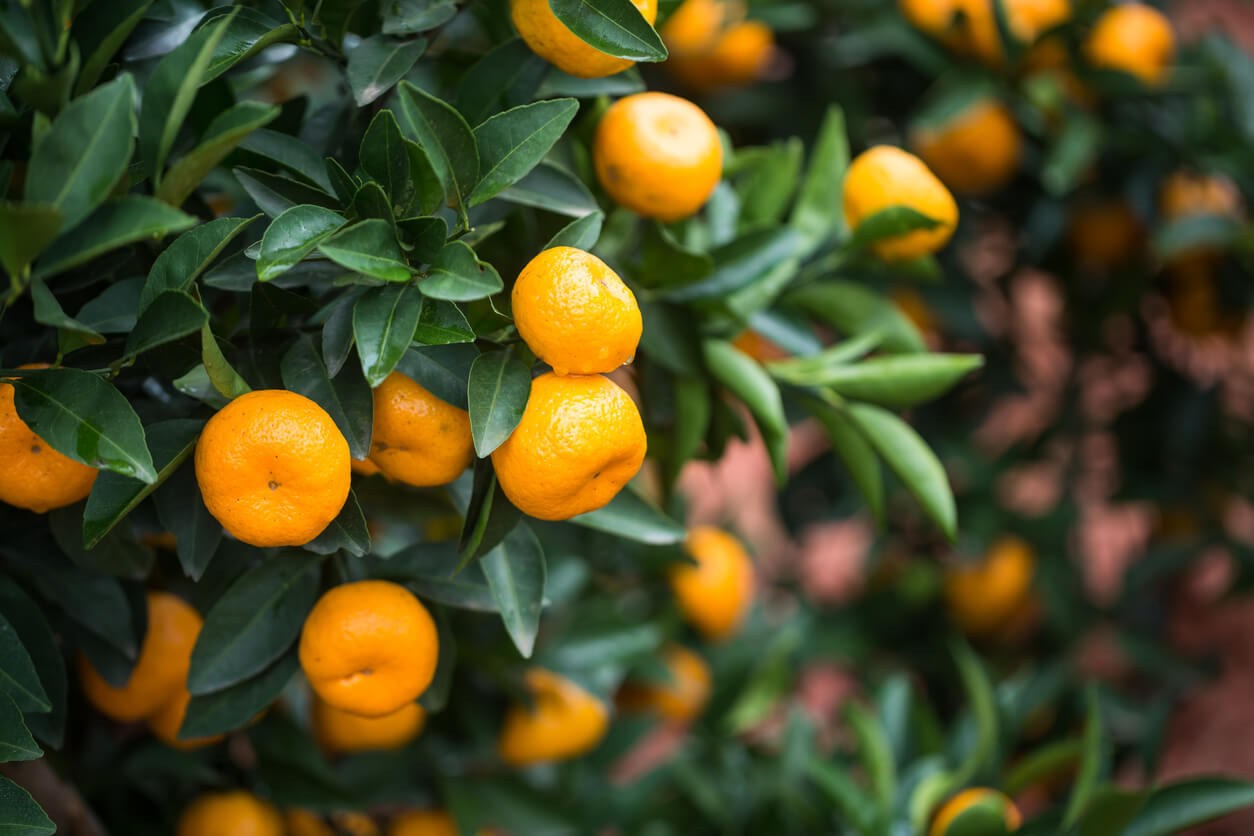 orange-citrus-tree