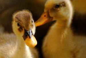 Raising Healthy Ducklings