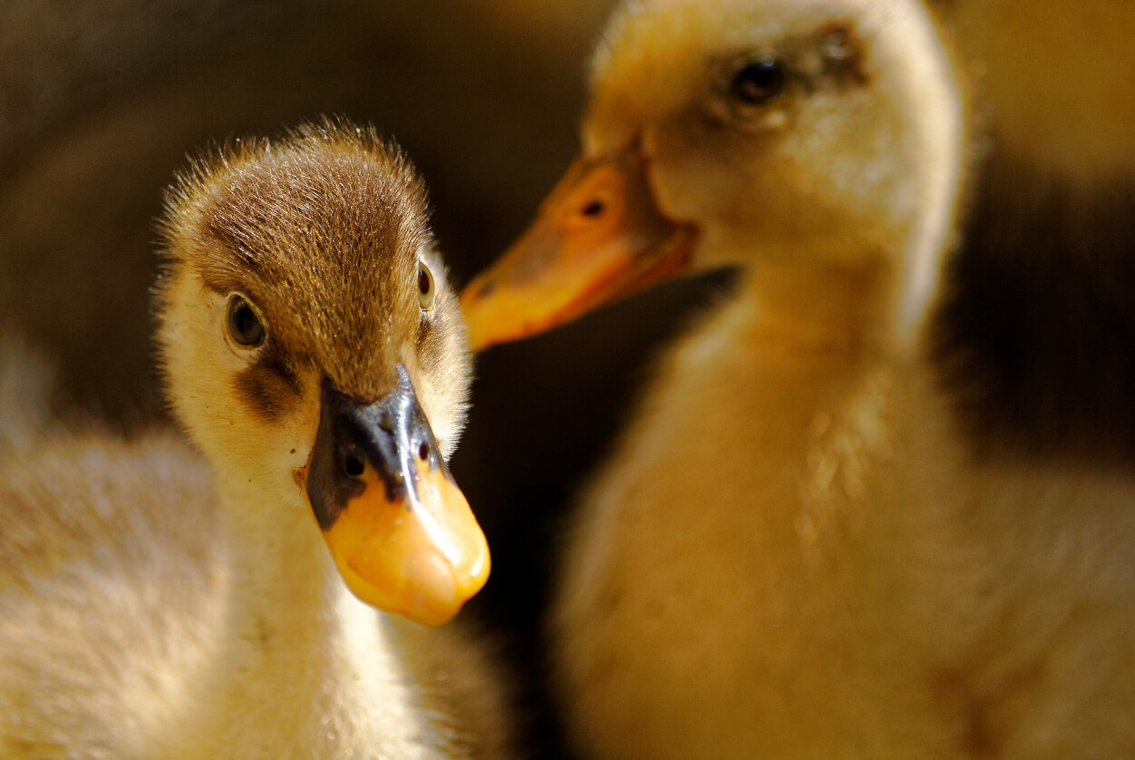 Raising Healthy Ducklings