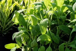 Splitting sage plant