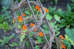 flower growing up tepee trellis