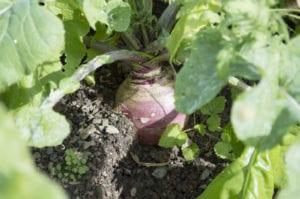 Turnip Growing in Garden