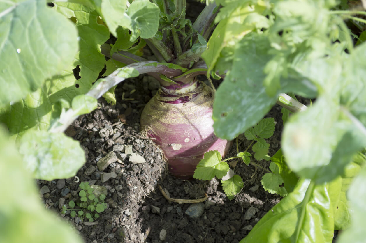 Turnip Growing in Garden
