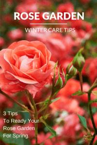 Rose garden tips