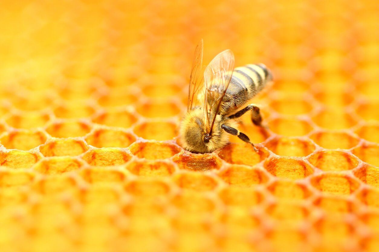 Honeybee in honeycomb