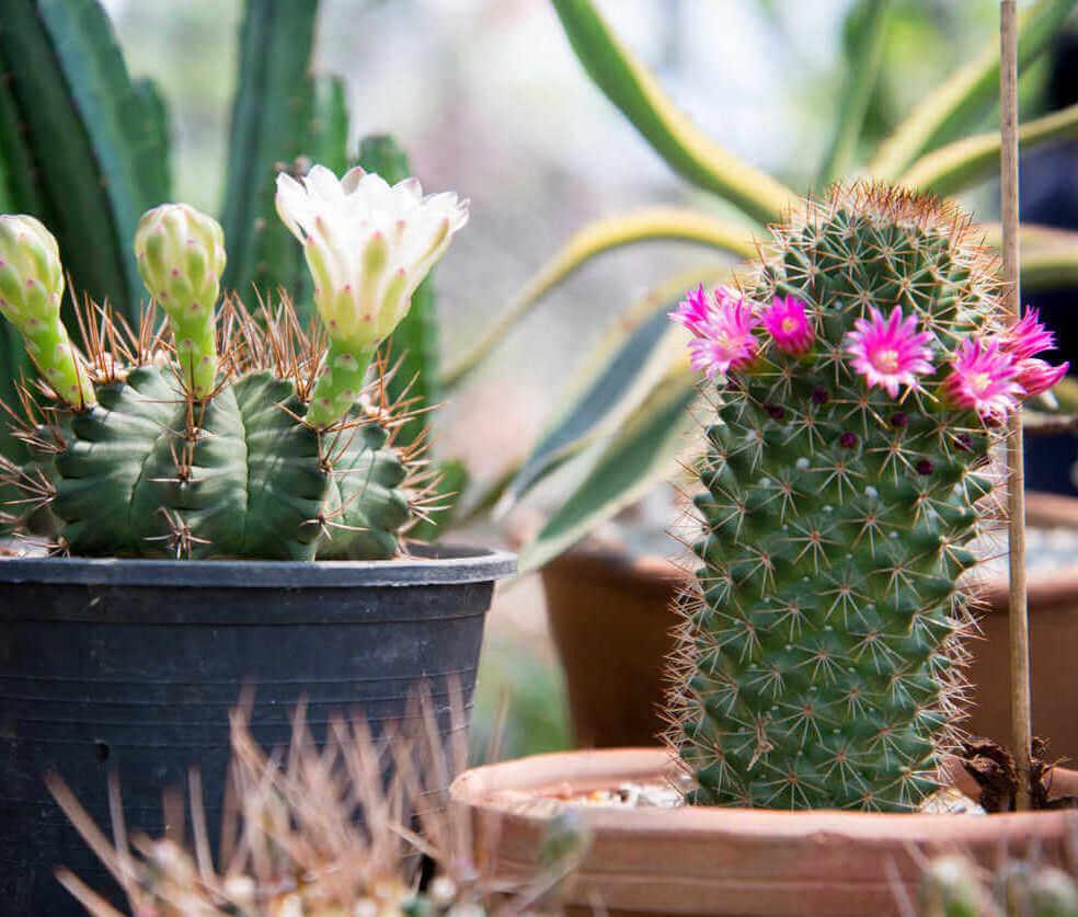 Indoor plant cactus