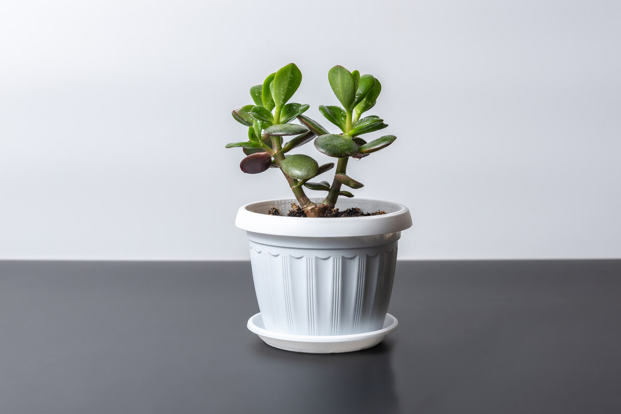 Crassula houseplant