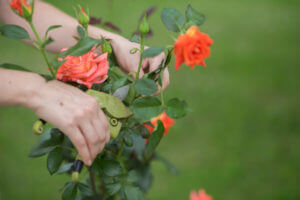 Young women cutting roses in her garden close up