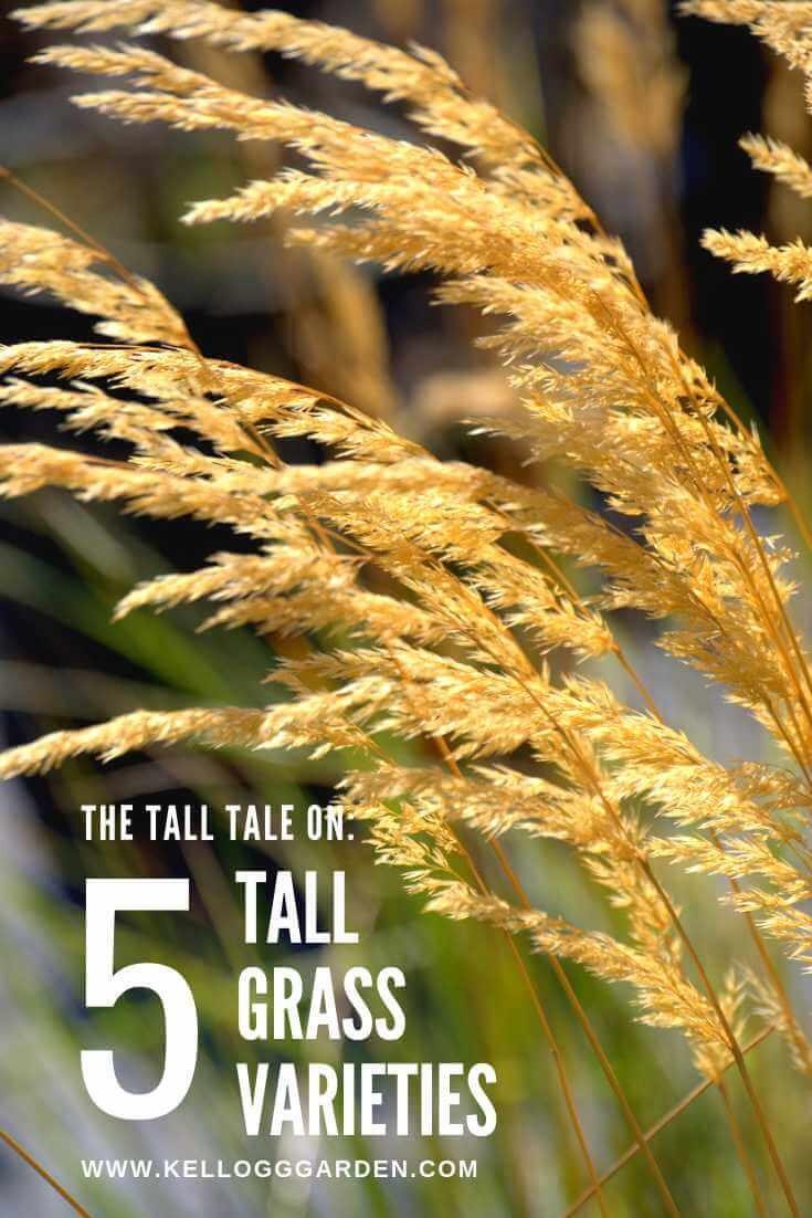 5 Tall Grass Varieties
