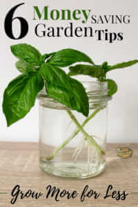 """Basil cutting growing in glass of water with text, """"6 money saving garden tips. Grow more for less"""""""