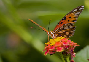 Butterfly searching for nectar