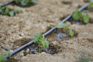 Drip irrigation system in ground with small plants sprouting.