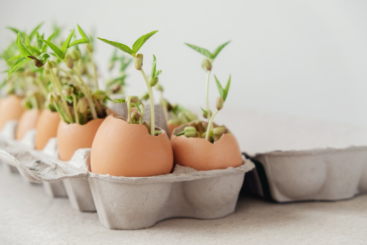 Seeds sprouting in an egg carton filled with eggshells.