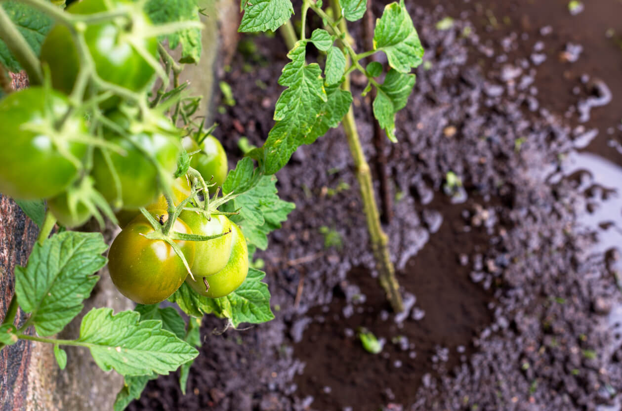 Flooded tomatoes