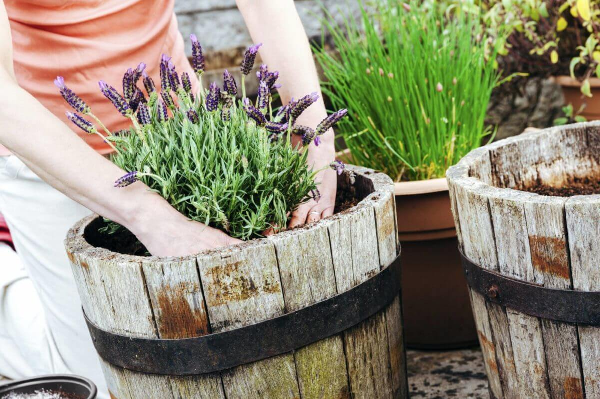 Planting herbs in a wooden container.