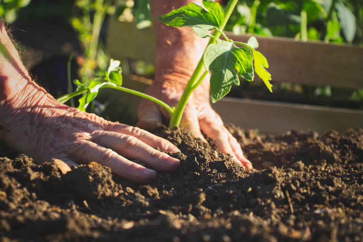 Hands planting tomato plant in soil