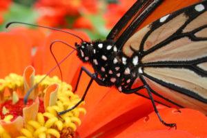 Monarch Pollinator on an orange flower