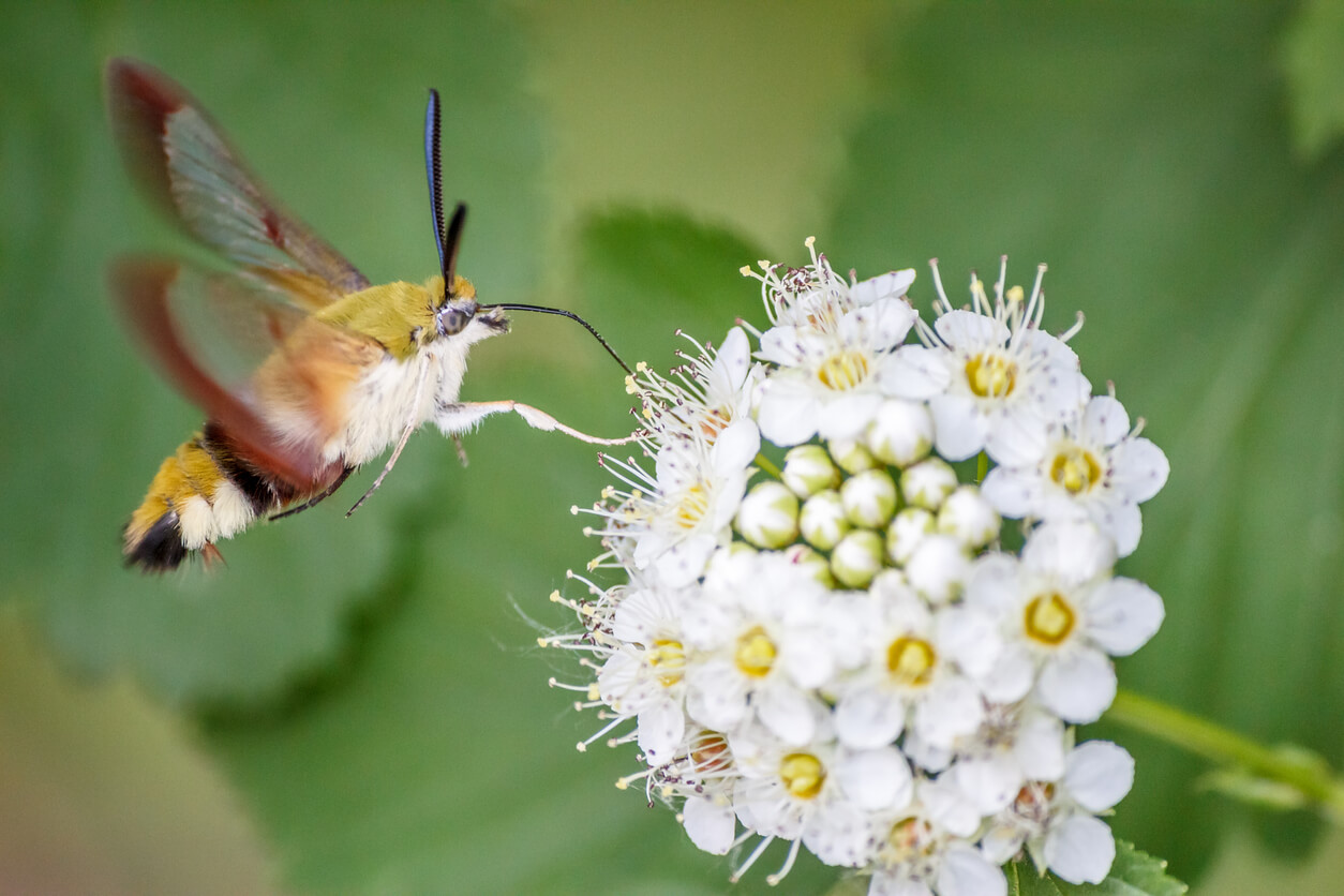 Mothhawk finding nectar