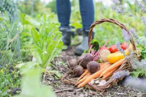 basket of garden vegetables; carrots, radish, potatoes, tomatoes