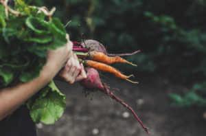 Freshly harvested root vegetables
