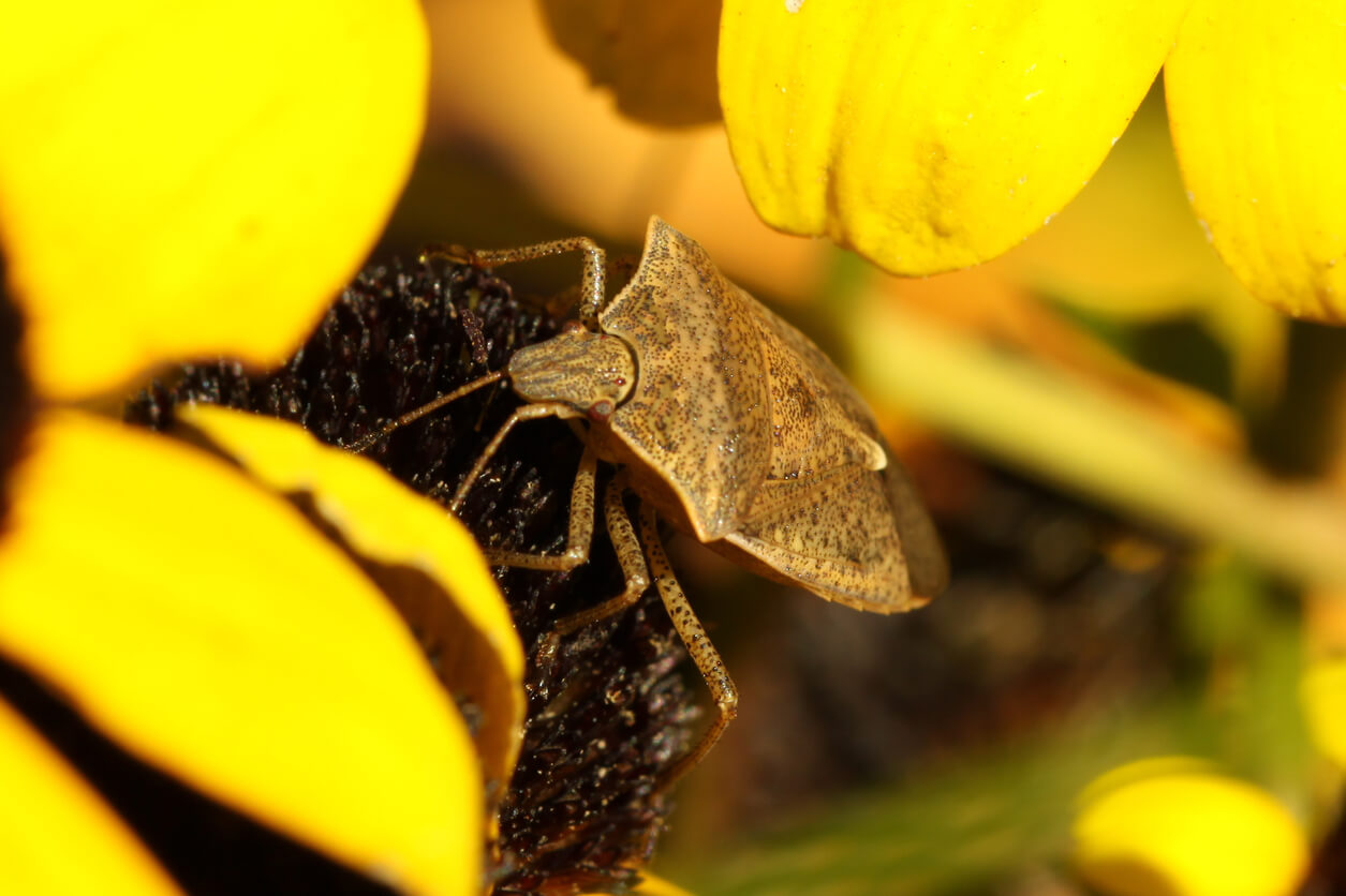 Close up of a Spined Soldier on a yellow flower