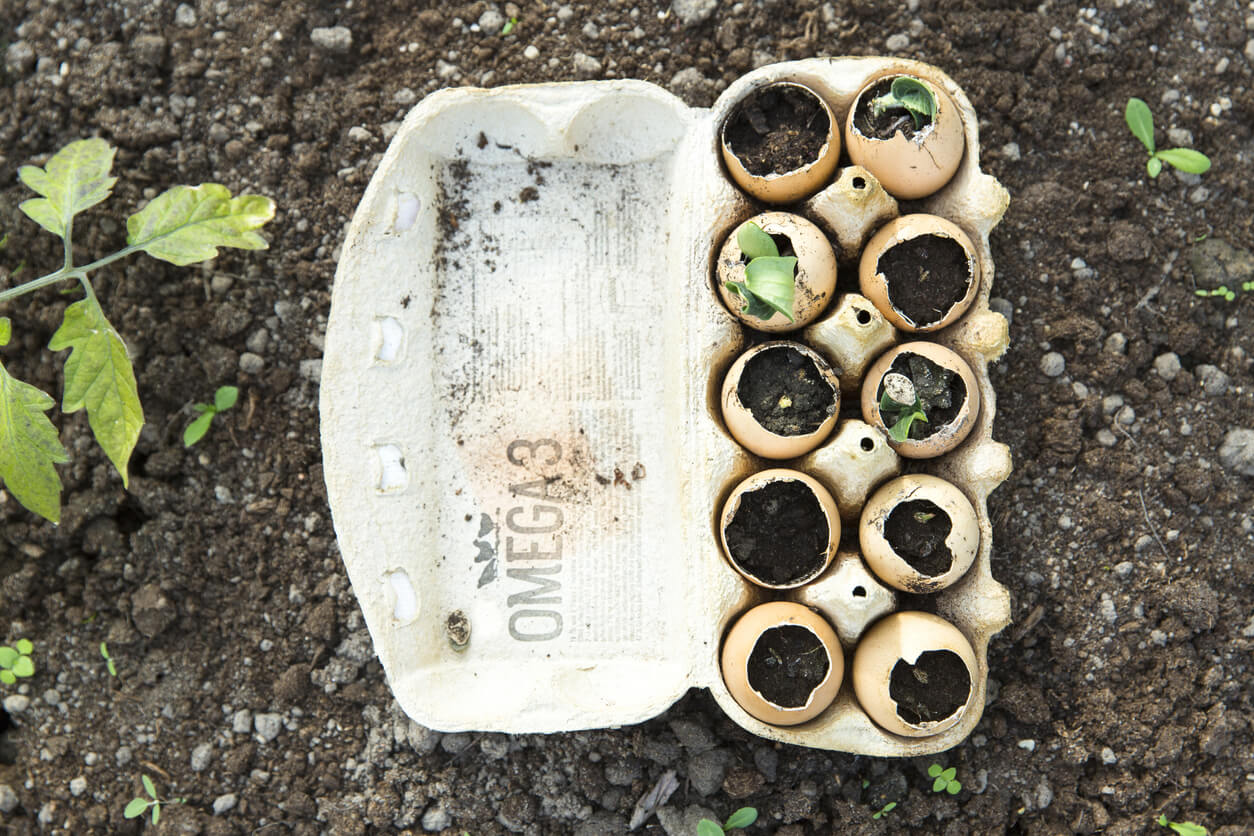 Starting seeds in eggshells