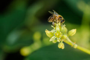 Avocado Flower and Bee