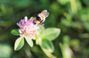 Bee on clover plant