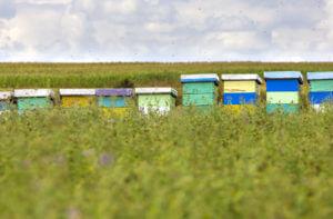Beekeeping in clover field