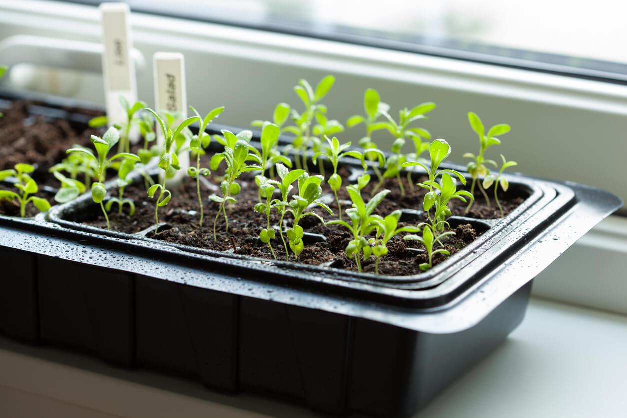 Seedlings growing in a tray