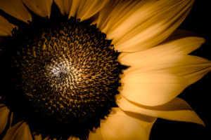 Sunflower Varities