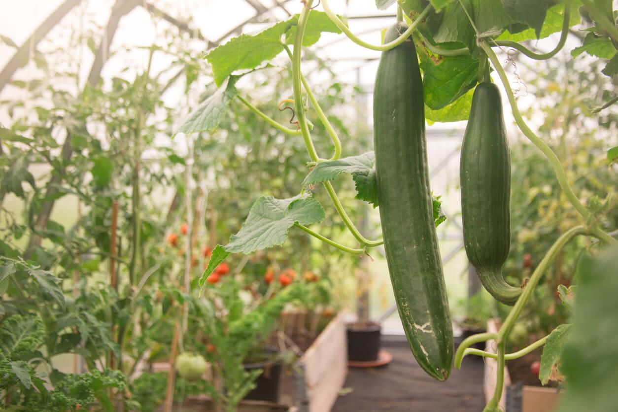 Vertical Cucumbers