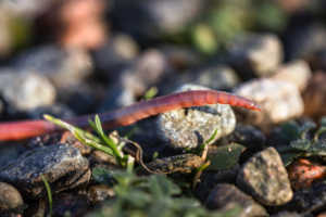 Earthworm Gardening