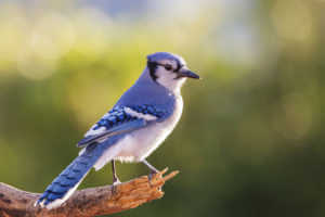 Blue jay perched on a branch