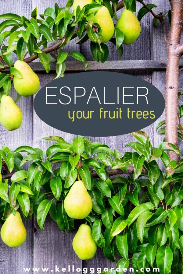 Espalier your fruit tree pinterest image