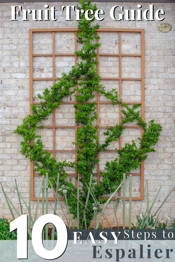 How To Espalier Fruit Trees Training And Care Guide Kellogg
