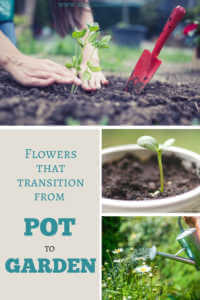 """Collage of woman planting flowers with text, """"Flowers that transition from pot to garden"""""""