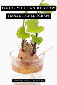 Foods you can regrow pinterest image