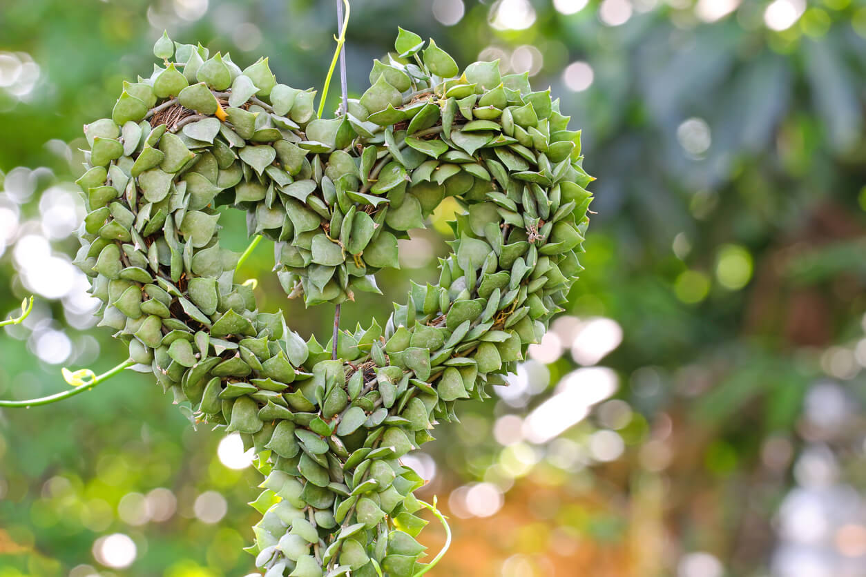 Heart shaped hanging succulent