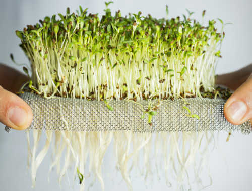 Hands holding microgreens