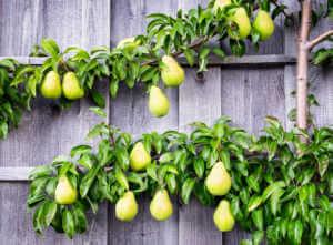 Pear tree espalier on wall