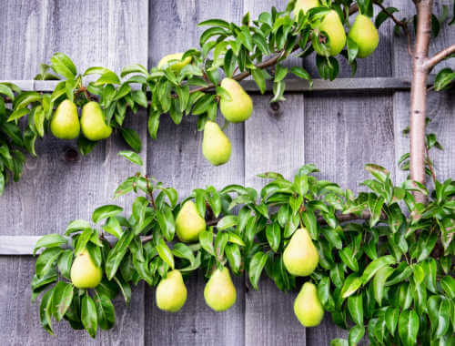 Pear tree espalier on wall
