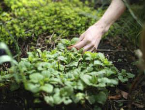 Picking mint in the garden