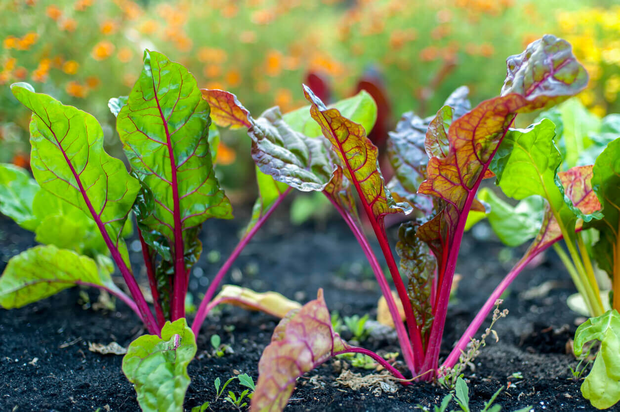 Sugar beet leaves sprouted out of the ground