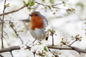 Red robin perched on blossoming branch