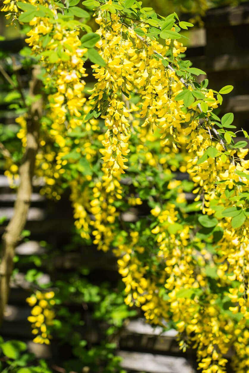 Yellow Siberian Pea Shrub