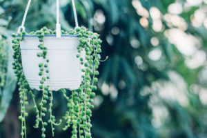 String of pearls succulent in hanging basket