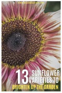 Sunflower varieties pinterest image