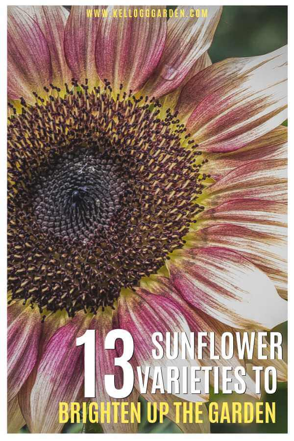 Sunflower varieties pinterest image